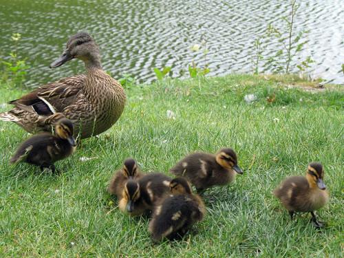 Canard et poussins près d'un lac